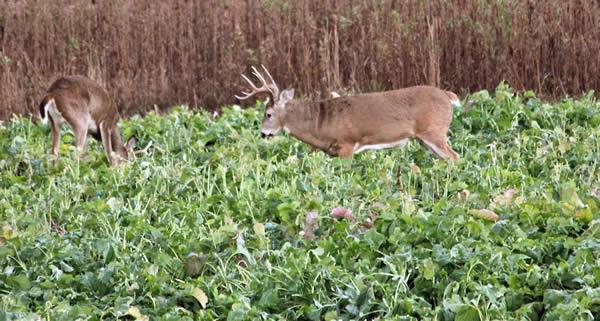 Mossy Oak Bucks