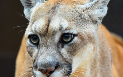 Nebraska Pine Ridge Mountain Lion Season closes