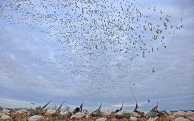 Waterfowl Season Looks good for Central Flyway By Gary Howey