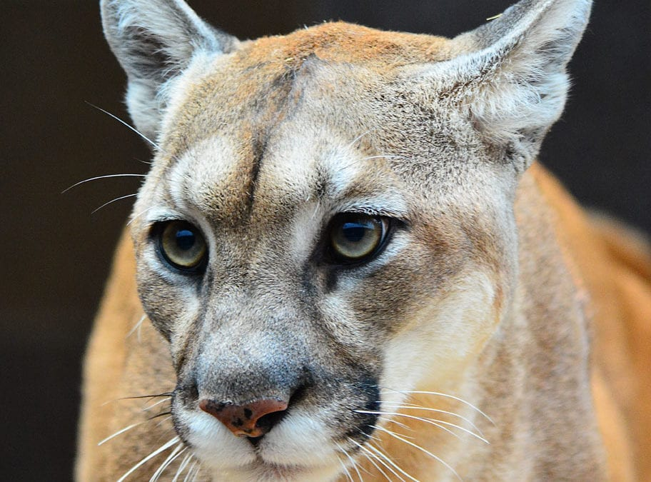 Nebraska Mountain lion lottery application period is Nov. 2 – Dec. 9