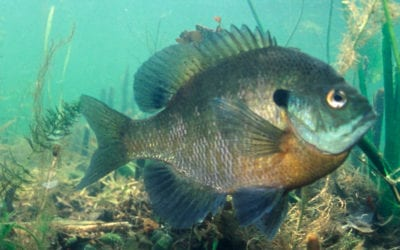 New Minnesota panfish regulations