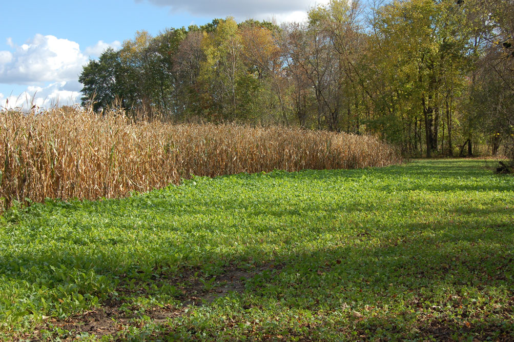 BROADCASTING CORN IN YOUR FOOD PLOT  BY: TODD AMENRUD