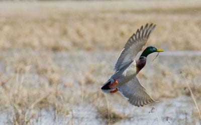 THE GAMEKEEPERS OF MOSSY OAK-What To Plant For Waterfowl BY: BOBBY COLE